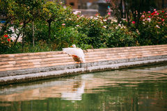 White duck sit near canal. European fauna. Royalty Free Stock Image