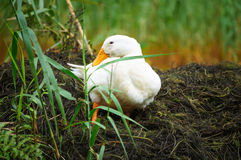 White duck sitting on grass Stock Photos