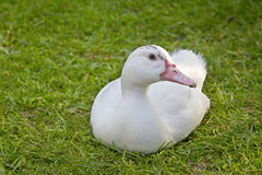 White Duck sitting on grass. Royalty Free Stock Photos