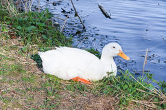 White duck. Sitting in the grass next to a pond Royalty Free Stock Images