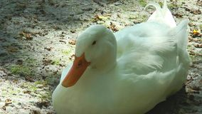 White duck sitting on the ground stock footage