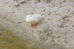A white duck is sleeping Royalty Free Stock Images