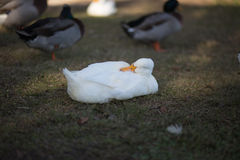 White duck sleeping in shade with backwards head. White duck sleeping in the mottled shade with backwards head, near other ducks in the background Stock Photo