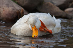 White duck splashing Royalty Free Stock Images