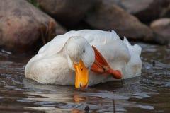 White duck splashing. Near rocks in a lake Royalty Free Stock Images