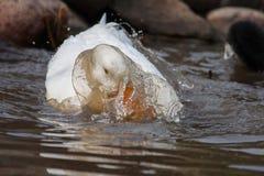 White duck splashing. Near rocks in a lake Stock Images