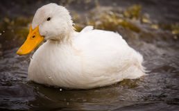 White Duck Splashing Water Stock Images