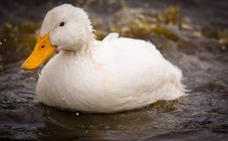 White Duck Splashing Water. A domestic white duck - Pekin Duck - is splashing dirty water stock images