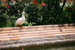 White Duck St Near Canal. European Fauna Royalty Free Stock Images