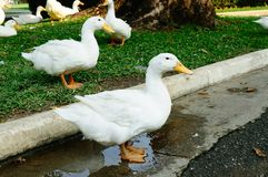 White duck standing Royalty Free Stock Photography