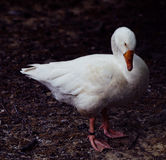 White duck. Standing at the lake Stock Photography