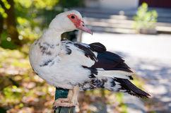 White Duck standing  at the railing Stock Photography