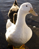 White Duck. Standing in water royalty free stock image