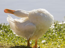 White duck stretching Royalty Free Stock Photos