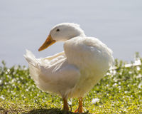 White duck in the sun Royalty Free Stock Photography