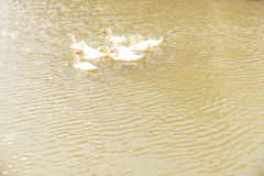 The white duck swim,Thailand Royalty Free Stock Photography