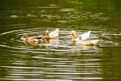 Ducks swimming on pond water full screen landscape image, background , wallpaper. Ducks swimming pon pond water full screen landscape image background wallpaper stock images