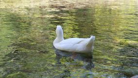 White duck swimming alone on the lake stock video