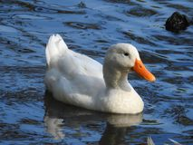 Duck swimming in lake water Royalty Free Stock Photography
