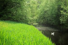 White duck swimming in the forest creek. Side landscape view of a white wild duck swimming through the forest creek next to the green bank Royalty Free Stock Photos