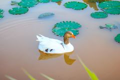 Duck in a lake Stock Photography