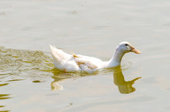 The white duck stock image