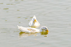 The white duck stock photography