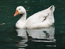 White Duck royalty free stock images