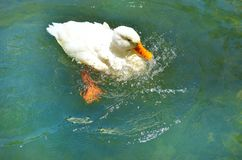 White Duck swimming in a lake. Duck taking a bath in the water Royalty Free Stock Photography