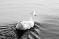 White duck swimming Royalty Free Stock Photos