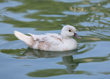 White duck swimming in pond Stock Image