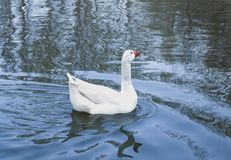 White duck swimming quietly in the lake stock photo