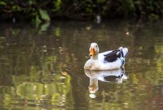 White duck swimming Royalty Free Stock Images