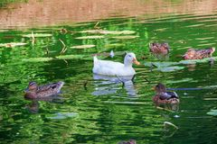 White duck swims together with gray ducks on the lake stock photo