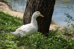 White duck. Under a tree at a city park duck pond in San Antonio, Texas royalty free stock photos