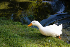 White Duck Royalty Free Stock Photo