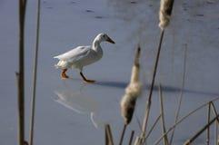 White duck walking on ice Stock Photos