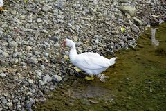 White duck walks on water on the river. River with small graver in it royalty free stock image