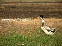 A white duck is wandering in the field in the village Stock Photos