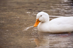 White Duck. A white duck in the water Stock Photos