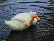 White Duck Royalty Free Stock Photo
