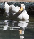 White duck in water. In the park in nature Royalty Free Stock Photos