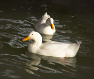 White duck in water. Photo in nature Stock Photos