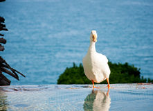 White Duck In The Water Stock Photography