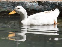 White duck in water. In the park in nature Stock Photos