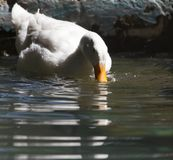 White duck in water. In the park in nature Stock Photography