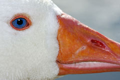 White duck whit blue eye in buenos aires Stock Photos