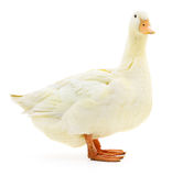White duck on white. Royalty Free Stock Photo