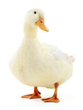 White duck on white. One white duck isolated on white background royalty free stock photography