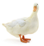 White duck on white. royalty free stock images